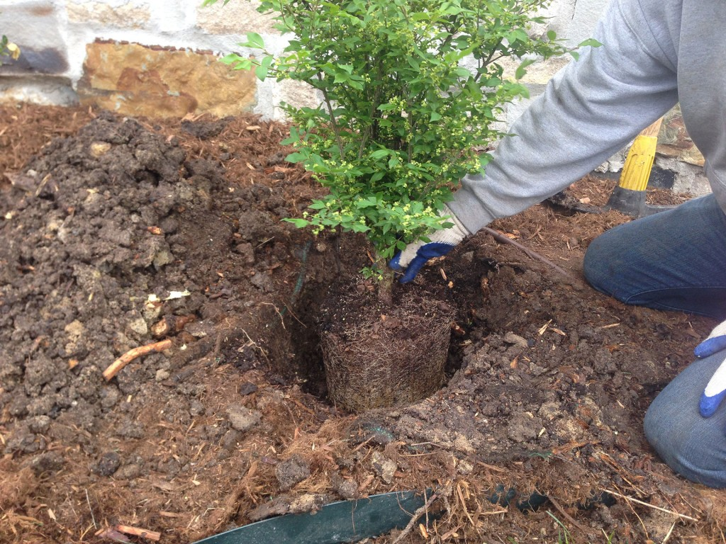 Planting Shrubs - Wichita